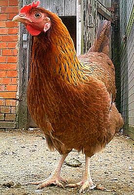 Risultati immagini per gallina
