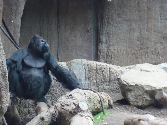 la-fierezza-del-gorilla.JPG