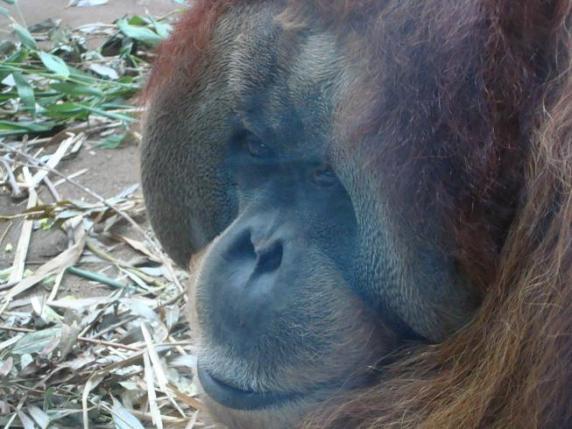 sono-un-orango-amami.JPG