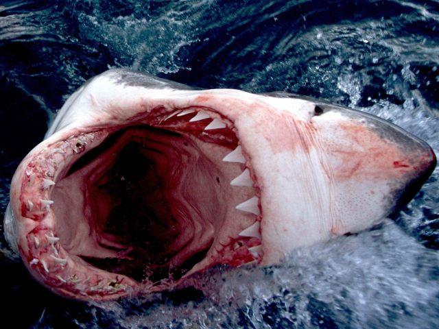 squalo_bianco_1